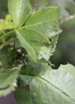 What to Use for Japanese Beetles