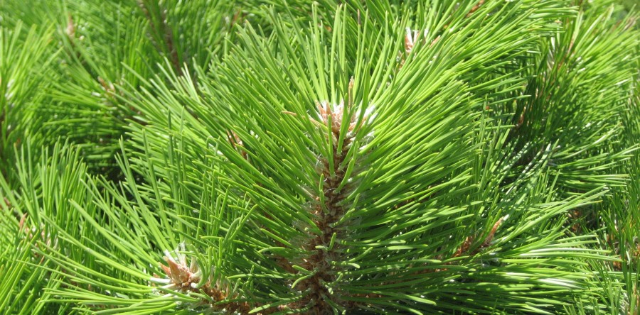 Is Your Pine Tree Losing Its Needles?