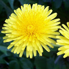Late Spring Dandelion and weed control